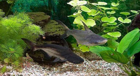 Аквариумные хищные рыбки акулы фото и